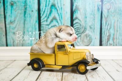 puppy50 week1 BowTiePomsky.com Bowtie Pomsky Puppy For Sale Husky Pomeranian Mini Dog Spokane WA Breeder Blue Eyes Pomskies web4