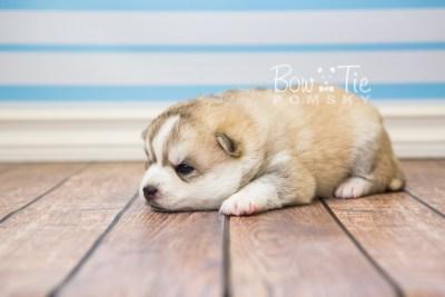 puppy50 week3 BowTiePomsky.com Bowtie Pomsky Puppy For Sale Husky Pomeranian Mini Dog Spokane WA Breeder Blue Eyes Pomskies web2