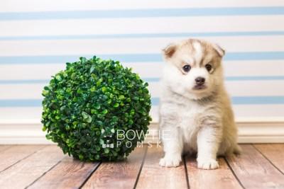 puppy50 week5 BowTiePomsky.com Bowtie Pomsky Puppy For Sale Husky Pomeranian Mini Dog Spokane WA Breeder Blue Eyes Pomskies web4