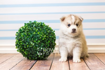 puppy50 week5 BowTiePomsky.com Bowtie Pomsky Puppy For Sale Husky Pomeranian Mini Dog Spokane WA Breeder Blue Eyes Pomskies web4