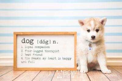 puppy50 week7 BowTiePomsky.com Bowtie Pomsky Puppy For Sale Husky Pomeranian Mini Dog Spokane WA Breeder Blue Eyes Pomskies web2