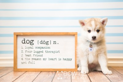 puppy50 week7 BowTiePomsky.com Bowtie Pomsky Puppy For Sale Husky Pomeranian Mini Dog Spokane WA Breeder Blue Eyes Pomskies web2