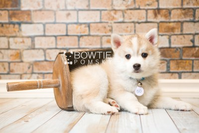 puppy50 week7 BowTiePomsky.com Bowtie Pomsky Puppy For Sale Husky Pomeranian Mini Dog Spokane WA Breeder Blue Eyes Pomskies web3