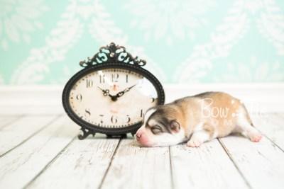 puppy51 week1 BowTiePomsky.com Bowtie Pomsky Puppy For Sale Husky Pomeranian Mini Dog Spokane WA Breeder Blue Eyes Pomskies web1