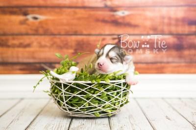 puppy51 week1 BowTiePomsky.com Bowtie Pomsky Puppy For Sale Husky Pomeranian Mini Dog Spokane WA Breeder Blue Eyes Pomskies web4