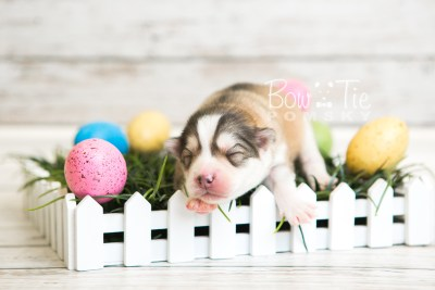 puppy51 week1 BowTiePomsky.com Bowtie Pomsky Puppy For Sale Husky Pomeranian Mini Dog Spokane WA Breeder Blue Eyes Pomskies web5
