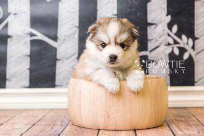 puppy51 week5 BowTiePomsky.com Bowtie Pomsky Puppy For Sale Husky Pomeranian Mini Dog Spokane WA Breeder Blue Eyes Pomskies web2