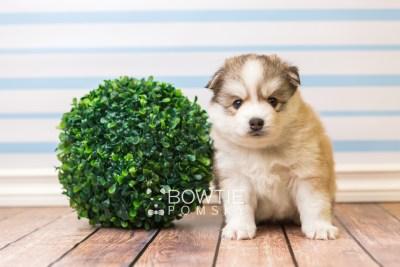 puppy51 week5 BowTiePomsky.com Bowtie Pomsky Puppy For Sale Husky Pomeranian Mini Dog Spokane WA Breeder Blue Eyes Pomskies web3