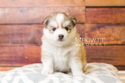 puppy51 week5 BowTiePomsky.com Bowtie Pomsky Puppy For Sale Husky Pomeranian Mini Dog Spokane WA Breeder Blue Eyes Pomskies web5