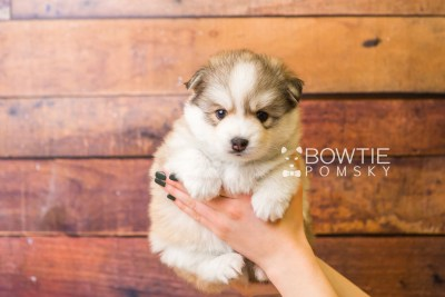 puppy51 week5 BowTiePomsky.com Bowtie Pomsky Puppy For Sale Husky Pomeranian Mini Dog Spokane WA Breeder Blue Eyes Pomskies web6