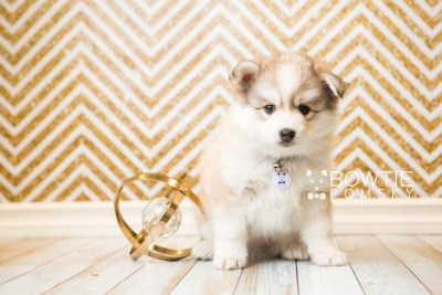 puppy51 week7 BowTiePomsky.com Bowtie Pomsky Puppy For Sale Husky Pomeranian Mini Dog Spokane WA Breeder Blue Eyes Pomskies web2