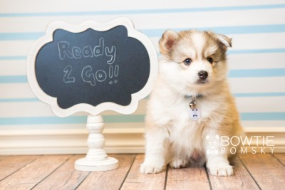 puppy51 week7 BowTiePomsky.com Bowtie Pomsky Puppy For Sale Husky Pomeranian Mini Dog Spokane WA Breeder Blue Eyes Pomskies web5