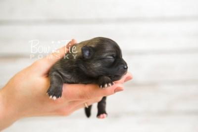 puppy52 week1 BowTiePomsky.com Bowtie Pomsky Puppy For Sale Husky Pomeranian Mini Dog Spokane WA Breeder Blue Eyes Pomskies web1