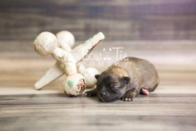 puppy52 week1 BowTiePomsky.com Bowtie Pomsky Puppy For Sale Husky Pomeranian Mini Dog Spokane WA Breeder Blue Eyes Pomskies web4