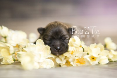 puppy52 week1 BowTiePomsky.com Bowtie Pomsky Puppy For Sale Husky Pomeranian Mini Dog Spokane WA Breeder Blue Eyes Pomskies web5