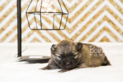 puppy52 week3 BowTiePomsky.com Bowtie Pomsky Puppy For Sale Husky Pomeranian Mini Dog Spokane WA Breeder Blue Eyes Pomskies web4