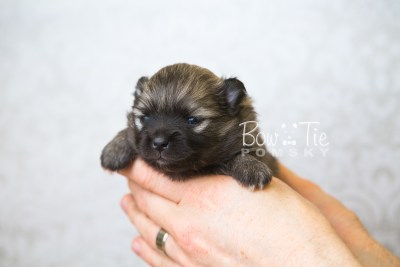 puppy52 week3 BowTiePomsky.com Bowtie Pomsky Puppy For Sale Husky Pomeranian Mini Dog Spokane WA Breeder Blue Eyes Pomskies web6