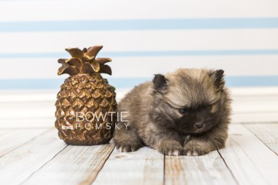 puppy52 week5 BowTiePomsky.com Bowtie Pomsky Puppy For Sale Husky Pomeranian Mini Dog Spokane WA Breeder Blue Eyes Pomskies web4