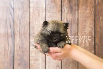 puppy52 week5 BowTiePomsky.com Bowtie Pomsky Puppy For Sale Husky Pomeranian Mini Dog Spokane WA Breeder Blue Eyes Pomskies web6