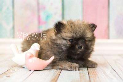 puppy52 week7 BowTiePomsky.com Bowtie Pomsky Puppy For Sale Husky Pomeranian Mini Dog Spokane WA Breeder Blue Eyes Pomskies web1