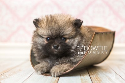 puppy52 week7 BowTiePomsky.com Bowtie Pomsky Puppy For Sale Husky Pomeranian Mini Dog Spokane WA Breeder Blue Eyes Pomskies web3