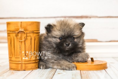 puppy52 week7 BowTiePomsky.com Bowtie Pomsky Puppy For Sale Husky Pomeranian Mini Dog Spokane WA Breeder Blue Eyes Pomskies web5