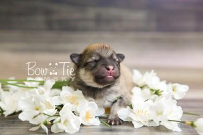 puppy53 week1 BowTiePomsky.com Bowtie Pomsky Puppy For Sale Husky Pomeranian Mini Dog Spokane WA Breeder Blue Eyes Pomskies web1