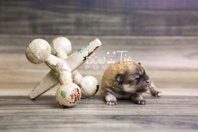 puppy53 week1 BowTiePomsky.com Bowtie Pomsky Puppy For Sale Husky Pomeranian Mini Dog Spokane WA Breeder Blue Eyes Pomskies web2