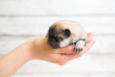 puppy53 week1 BowTiePomsky.com Bowtie Pomsky Puppy For Sale Husky Pomeranian Mini Dog Spokane WA Breeder Blue Eyes Pomskies web4