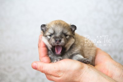 puppy53 week3 BowTiePomsky.com Bowtie Pomsky Puppy For Sale Husky Pomeranian Mini Dog Spokane WA Breeder Blue Eyes Pomskies web1