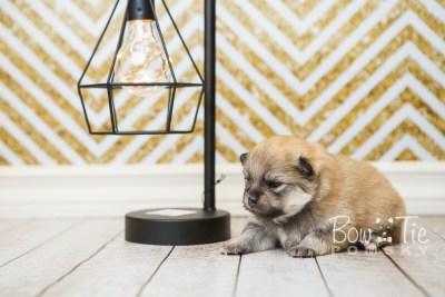 puppy53 week3 BowTiePomsky.com Bowtie Pomsky Puppy For Sale Husky Pomeranian Mini Dog Spokane WA Breeder Blue Eyes Pomskies web5