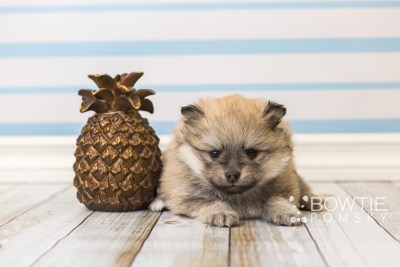 puppy53 week5 BowTiePomsky.com Bowtie Pomsky Puppy For Sale Husky Pomeranian Mini Dog Spokane WA Breeder Blue Eyes Pomskies web3
