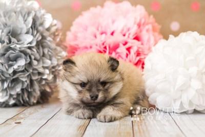 puppy53 week5 BowTiePomsky.com Bowtie Pomsky Puppy For Sale Husky Pomeranian Mini Dog Spokane WA Breeder Blue Eyes Pomskies web6