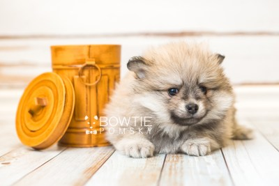 puppy53 week7 BowTiePomsky.com Bowtie Pomsky Puppy For Sale Husky Pomeranian Mini Dog Spokane WA Breeder Blue Eyes Pomskies web2