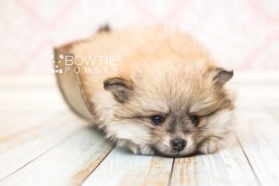 puppy53 week7 BowTiePomsky.com Bowtie Pomsky Puppy For Sale Husky Pomeranian Mini Dog Spokane WA Breeder Blue Eyes Pomskies web4