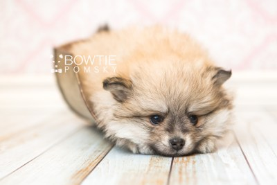 puppy53 week7 BowTiePomsky.com Bowtie Pomsky Puppy For Sale Husky Pomeranian Mini Dog Spokane WA Breeder Blue Eyes Pomskies web4