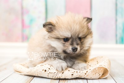 puppy53 week7 BowTiePomsky.com Bowtie Pomsky Puppy For Sale Husky Pomeranian Mini Dog Spokane WA Breeder Blue Eyes Pomskies web5