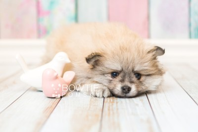 puppy53 week7 BowTiePomsky.com Bowtie Pomsky Puppy For Sale Husky Pomeranian Mini Dog Spokane WA Breeder Blue Eyes Pomskies web6