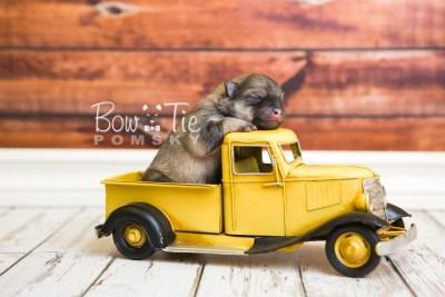 puppy54 week1 BowTiePomsky.com Bowtie Pomsky Puppy For Sale Husky Pomeranian Mini Dog Spokane WA Breeder Blue Eyes Pomskies web4
