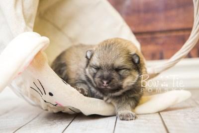 puppy54 week3 BowTiePomsky.com Bowtie Pomsky Puppy For Sale Husky Pomeranian Mini Dog Spokane WA Breeder Blue Eyes Pomskies web3