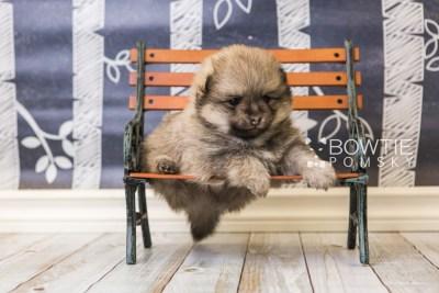 puppy54 week5 BowTiePomsky.com Bowtie Pomsky Puppy For Sale Husky Pomeranian Mini Dog Spokane WA Breeder Blue Eyes Pomskies web3