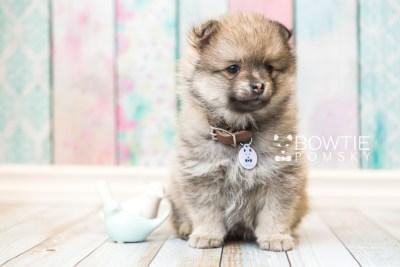 puppy54 week7 BowTiePomsky.com Bowtie Pomsky Puppy For Sale Husky Pomeranian Mini Dog Spokane WA Breeder Blue Eyes Pomskies web1