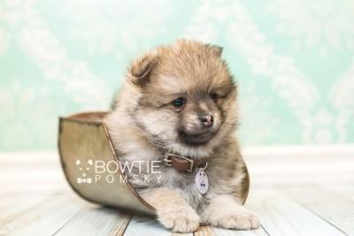 puppy54 week7 BowTiePomsky.com Bowtie Pomsky Puppy For Sale Husky Pomeranian Mini Dog Spokane WA Breeder Blue Eyes Pomskies web3