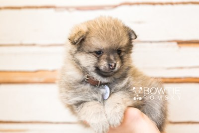 puppy54 week7 BowTiePomsky.com Bowtie Pomsky Puppy For Sale Husky Pomeranian Mini Dog Spokane WA Breeder Blue Eyes Pomskies web6