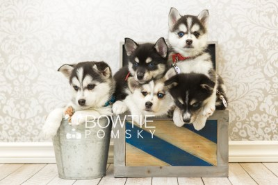 puppy55-59 week7 BowTiePomsky.com Bowtie Pomsky Puppy For Sale Husky Pomeranian Mini Dog Spokane WA Breeder Blue Eyes Pomskies web3
