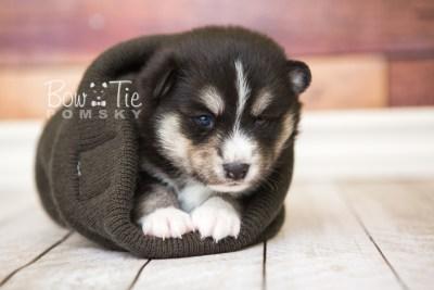 puppy55 week3 BowTiePomsky.com Bowtie Pomsky Puppy For Sale Husky Pomeranian Mini Dog Spokane WA Breeder Blue Eyes Pomskies web5