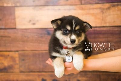 puppy55 week7 BowTiePomsky.com Bowtie Pomsky Puppy For Sale Husky Pomeranian Mini Dog Spokane WA Breeder Blue Eyes Pomskies web4