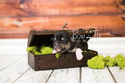 puppy56 week1 BowTiePomsky.com Bowtie Pomsky Puppy For Sale Husky Pomeranian Mini Dog Spokane WA Breeder Blue Eyes Pomskies web7