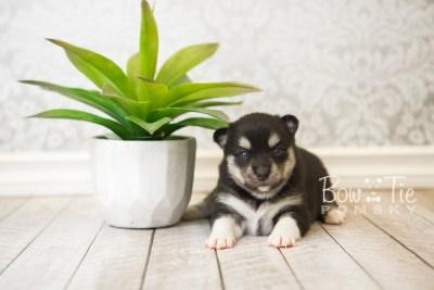 puppy56 week3 BowTiePomsky.com Bowtie Pomsky Puppy For Sale Husky Pomeranian Mini Dog Spokane WA Breeder Blue Eyes Pomskies web1
