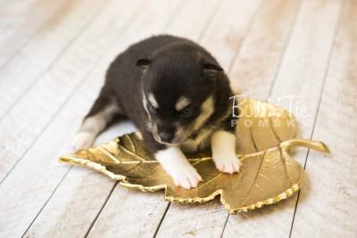puppy56 week3 BowTiePomsky.com Bowtie Pomsky Puppy For Sale Husky Pomeranian Mini Dog Spokane WA Breeder Blue Eyes Pomskies web3